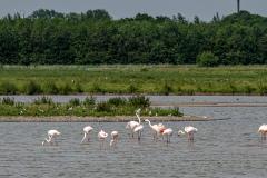 Flamingos-zu-Besuch-in-Brake